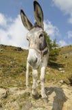 Donkey, Equus africanus asinus Stock Photos