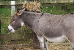 Donkey - Equus africanus asinus Stock Photo