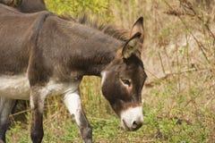 Donkey - Equus Africanus Asinus. A Donkey-Equus Africanus Asinus Royalty Free Stock Image