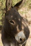 Donkey - Equus Africanus Asinus. A Donkey-Equus Africanus Asinus Stock Photos