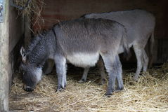 Donkey - Equus africanus asinus Royalty Free Stock Photos
