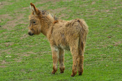 Donkey - Equus africanus asinus Royalty Free Stock Photography