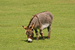 Donkey, Equus asinus asinus. On a meadow in Southwest England, Europe royalty free stock images