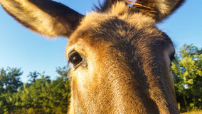Donkey is an extraordinary animal, strong and affectionate. The donkey mule with eyes and ears in the details view Stock Photos