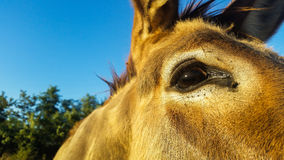 Donkey is an extraordinary animal, strong and affectionate. The donkey mule with eyes and ears in the details view Royalty Free Stock Images