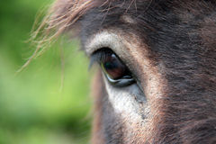 Donkey eye. Scottish donkey in the countryside Royalty Free Stock Photos