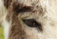 Donkey eye Stock Images