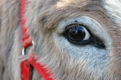 Donkey Eye. Close-up of donkey mare with a red harness Stock Photos