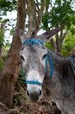 Donkey face Stock Images