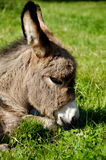 Donkey face Royalty Free Stock Photos