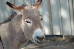Donkey face. Close-up Royalty Free Stock Image