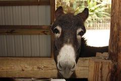 Donkey Face Royalty Free Stock Photography