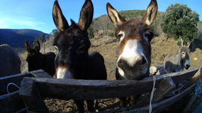 Donkey face. Group of donkeys living outside by the river Stock Images