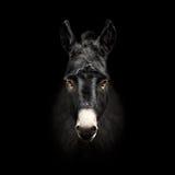 Donkey face isolated on black background Royalty Free Stock Images