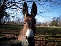 Close up of Donkey  Stock Image