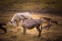 Donkey and fallow-deer group Royalty Free Stock Images
