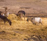 Donkey and fallow-deer group Stock Images