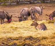 Donkey and fallow-deer group Stock Photo