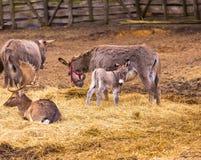 Donkey and fallow-deer group Stock Photos
