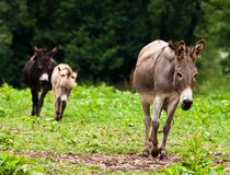 Donkey Family Stock Images