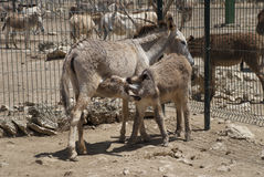 Donkey family Stock Photography