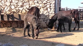 Donkey family stock video footage