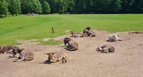 Donkey family Stock Image