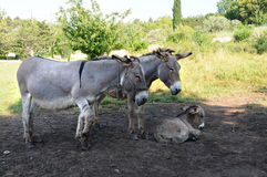 Donkey family Royalty Free Stock Photography