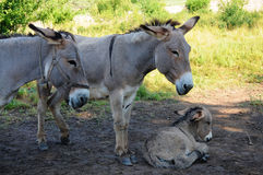 Donkey family Stock Photo