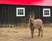 Donkey on Farm Royalty Free Stock Images
