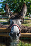 Donkey from the farm Royalty Free Stock Image