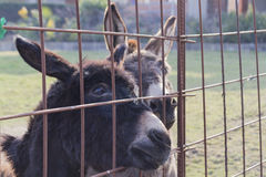 Donkey in the farm Stock Photography