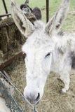 Donkey on a farm Stock Photography