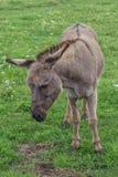 Donkey at the farm 2 Royalty Free Stock Photos