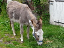 Donkey on farm. Eating grass Royalty Free Stock Photo