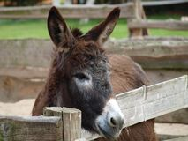 Donkey on the farm. Northern Bohemia stock photography