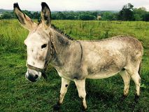 Donkey in Farm Pasture Stock Images