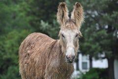 Donkey on farm in Virginia Stock Photo