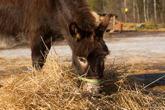 The donkey on farmstead eats a grass Royalty Free Stock Photos