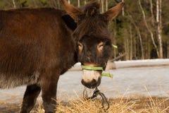 The donkey on farmstead eats a grass Stock Photos