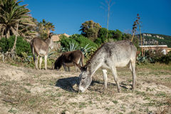 Donkey feeding outdoors Stock Photography