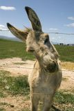 Donkey and fence. A donkey in a green field tries to gets its head through the barbed wire fence by twisting its head in order to get closer royalty free stock photography