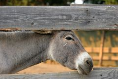 Donkey by the fence Royalty Free Stock Image