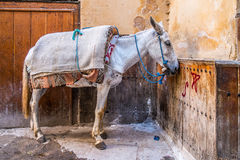 Donkey in Fes Stock Photography