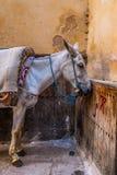 Donkey in Fes Stock Photo