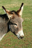 Donkey in a field Royalty Free Stock Images