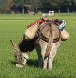 Donkey in the field. The loaded donkey in the field eats the grass Stock Photography