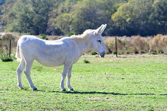 Donkey in a field Stock Photography