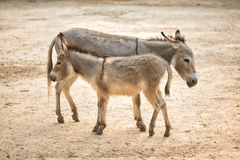 Donkey in the field of bangladesh Royalty Free Stock Photo