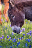 Donkey in a Field of Bluebonnets Stock Images